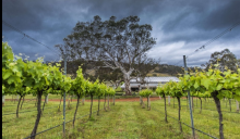 image of grape vines and a gum tree